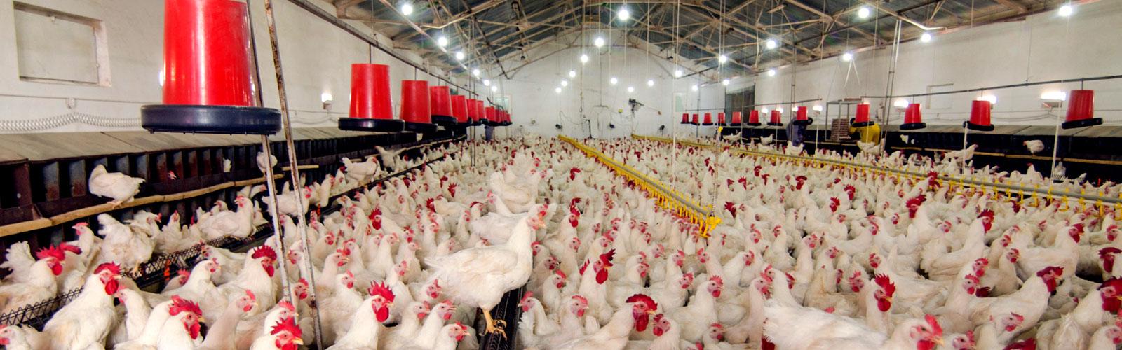 Productos avícolas Calfri